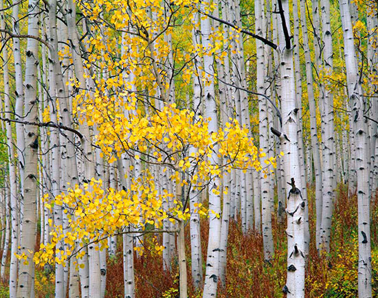 White trunks mural for Birch trees wall mural
