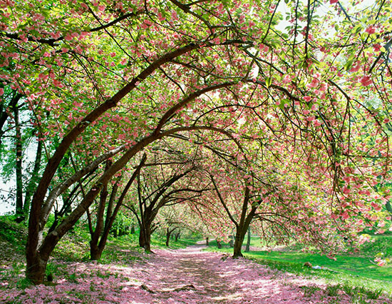 Central park spring cherry blossoms mural for Central park mural