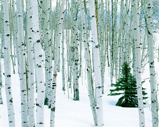 Fir in aspen grove mural charles gurche murals your way for Birch tree wallpaper mural