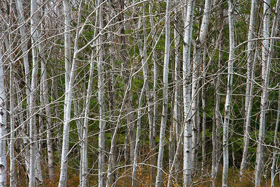 Young birch mural for Birch trees mural