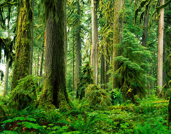old growth rainforest carbon river valley mural